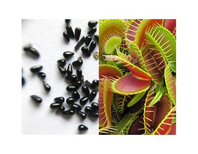 Семена Мухоловки типичной формы