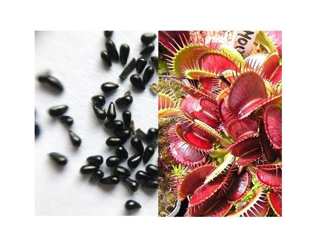 Семена Мухоловки сорт Большая пасть