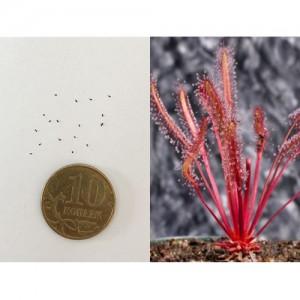 Семена Росянки capensis