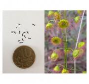 Семена Росянки drosera macrantha