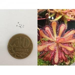 Семена Росянки гибридной