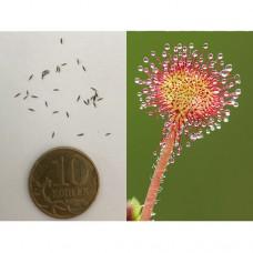 Семена Росянки круглолистной