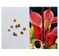 Семена Гелиамфоры