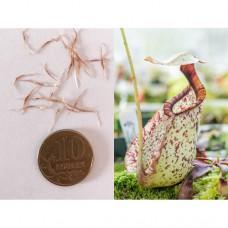 Семена Непентеса Раффлезианы