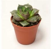 Эхеверия Пурпузорум  (Echeveria Purpusorum)