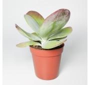 Каланхоэ Тирсифлора  (Kalanchoe Тhyrsiflora)