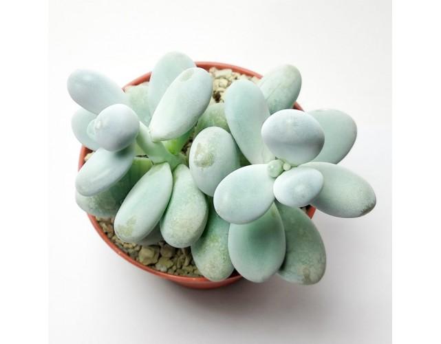 Пахифитум яйценосный  (Pachyphytum oviferum)