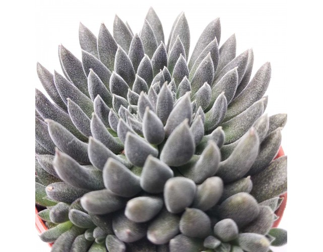 Синокрассула Юннаньская (Sinocrassula Yunnanensis)