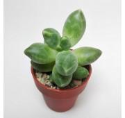 Пахифитум Компактум (Pachyphytum Compactum)